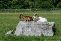 - Ziegen auf einem Findling